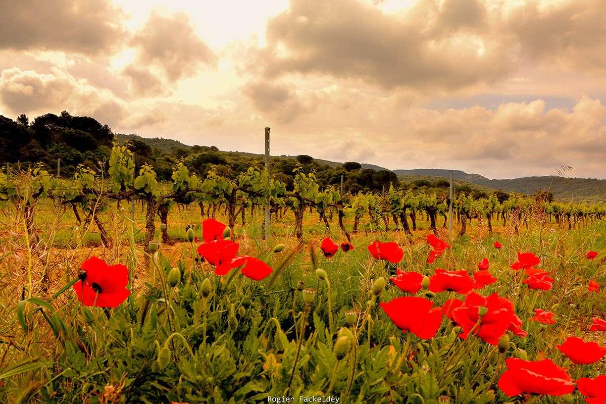 Les Vins de Fontfroide - Vignes et coquelicots